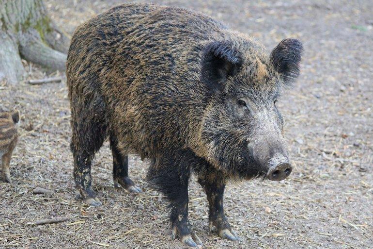 boar-2256297_1920
